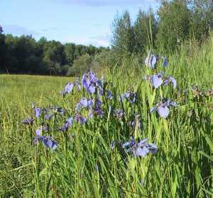 Blue Iris on Hill