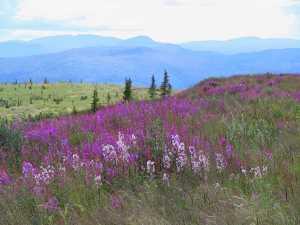 Fireweed Yukon Mtns scenic best Juanita